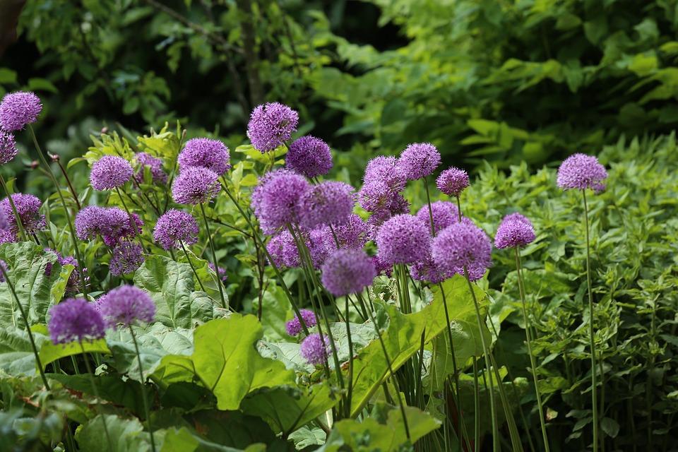Flower, Perennials, Plant, Allium, Nature, Garden