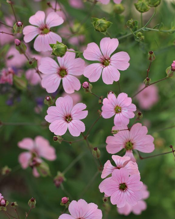 Pink Flowers, Small Flowers, Garden, Bloom, Nature