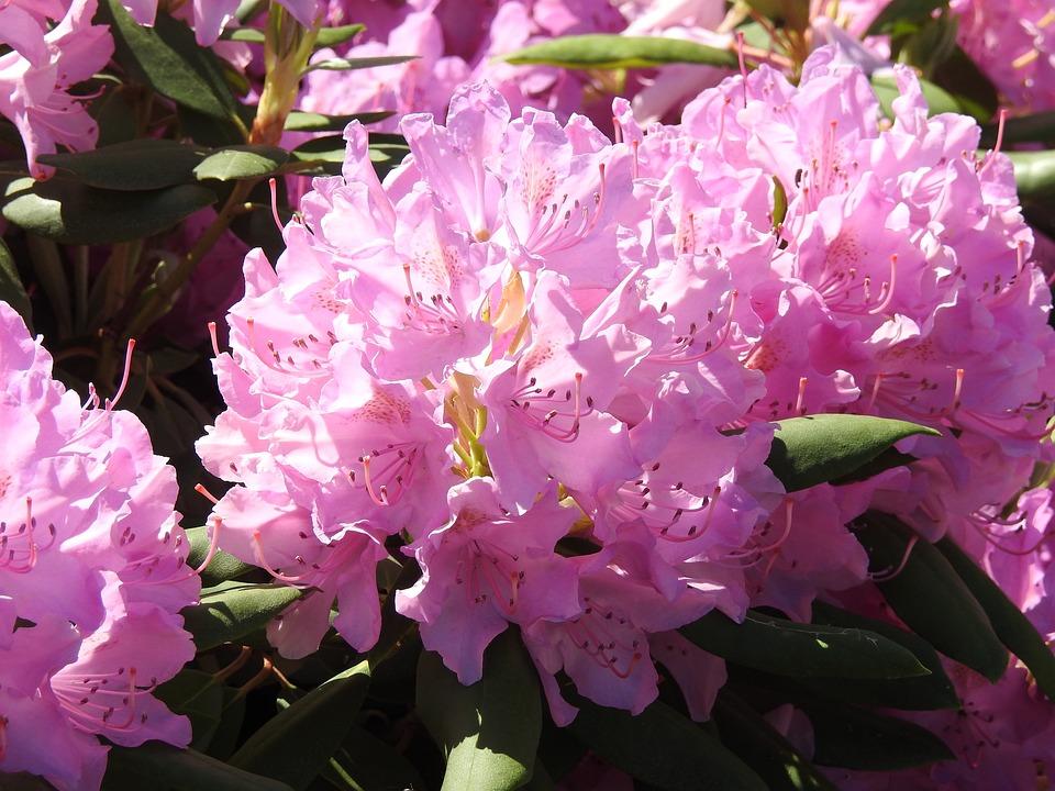 Rhododendron, Garden, Plant, Nature, Flower, Blooms