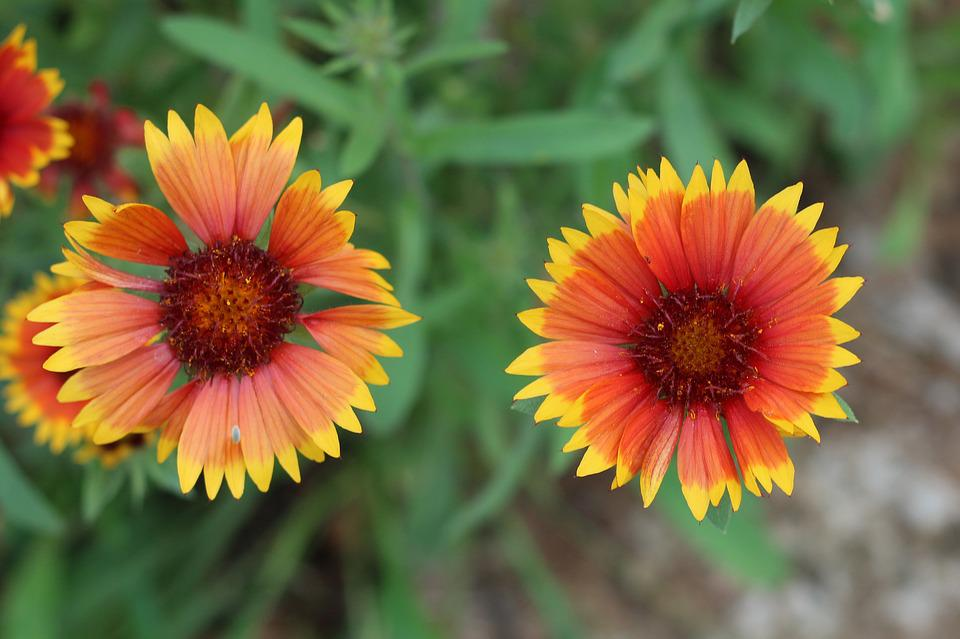 Blanket Flower, Nature, Yellow, Bloom, Garden, Colorful