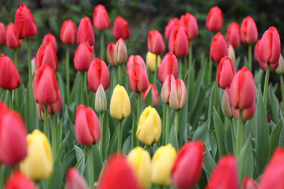 Tulip, Flower, Nature, Garden, Flora, Floral