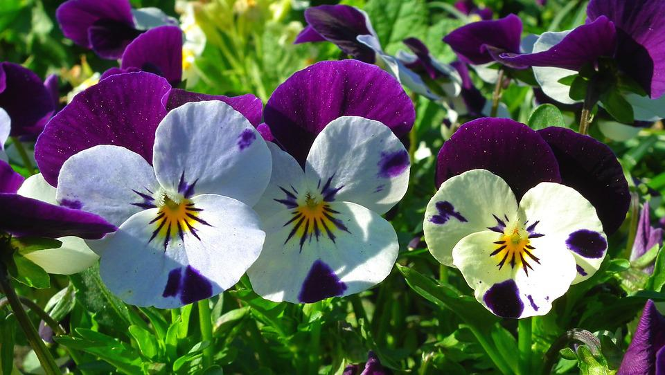 Flower, Pansies, Colorful, Nature, Garden, Floral