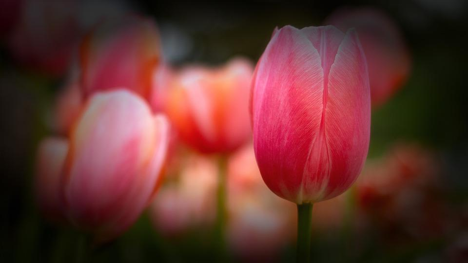 Tulip, Flower, Plant, Bloom, Spring, Garden, Nature