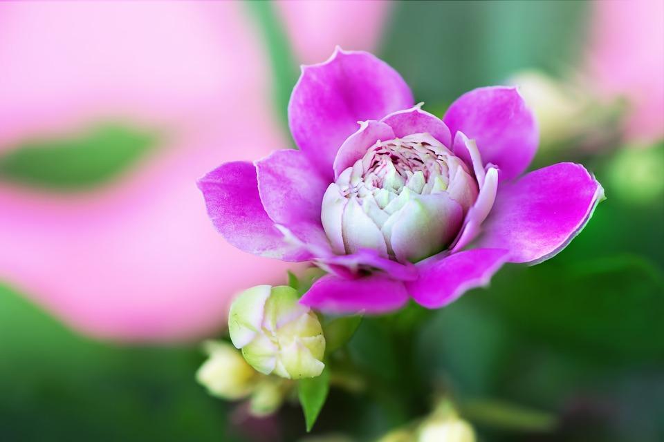 Flower, Nature, Flora, Garden, Macro, Pink