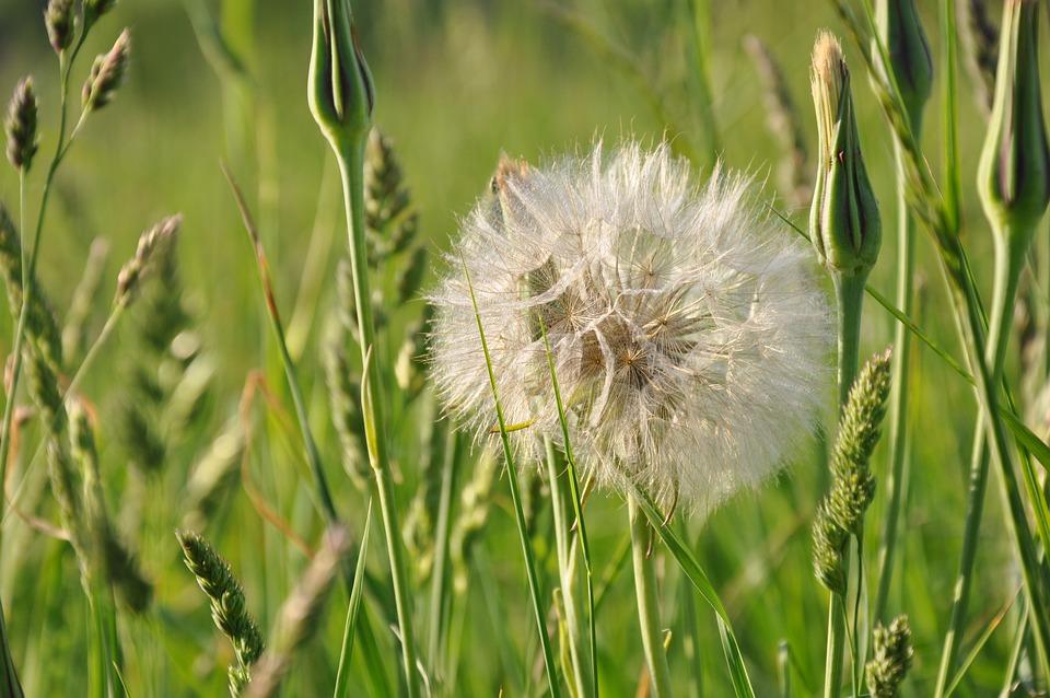 Dandelion, Flower, Garden, Nature, White