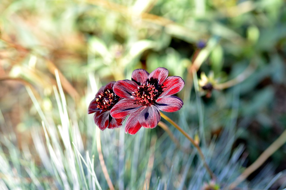 Garden, Chocolate Flower, Flowers, Nature