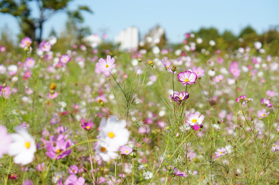 Cosmos, Flowers, Plants, Nature, Flower Garden, Garden