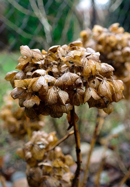 Hydrangea, Autumn, Flower, Garden, Fry, Nature, Dead