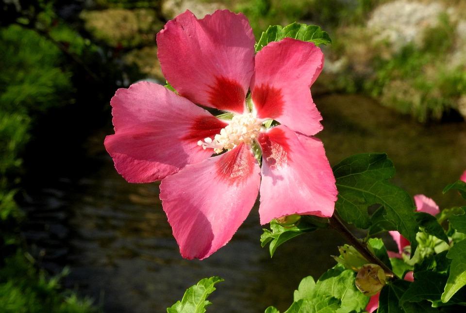 Flower, Nature, Plant, Garden, Leaf, Ibiskus, Blossom
