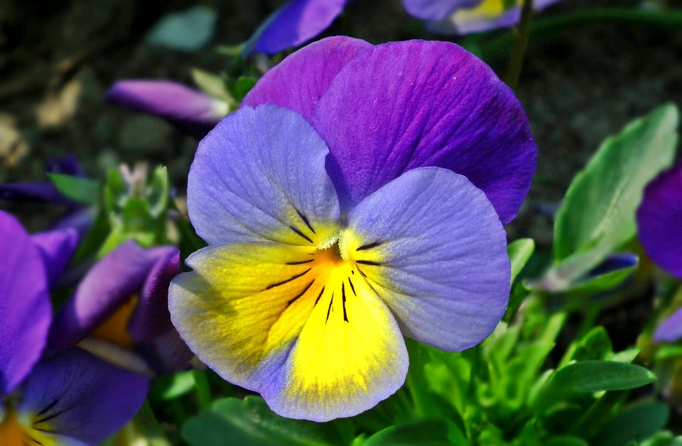 Flower, Pansy, Plant, Nature, Leaf, Garden, Closeup