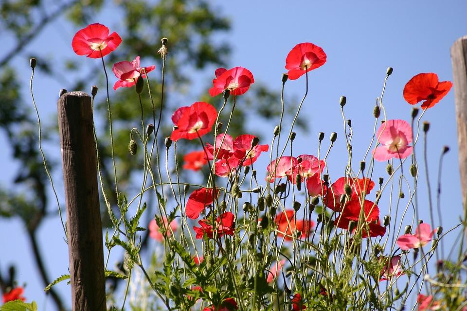 Poppy, Flower, Nature, Plant, Field, Garden