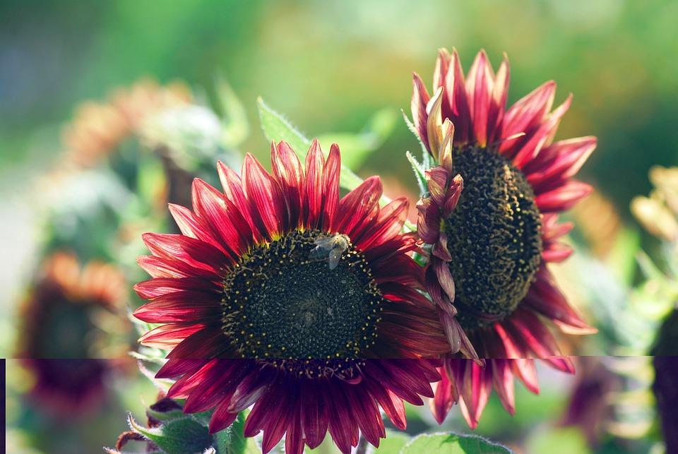 Flower, Plant, Nature, Garden, Close, Sun Flower, Red