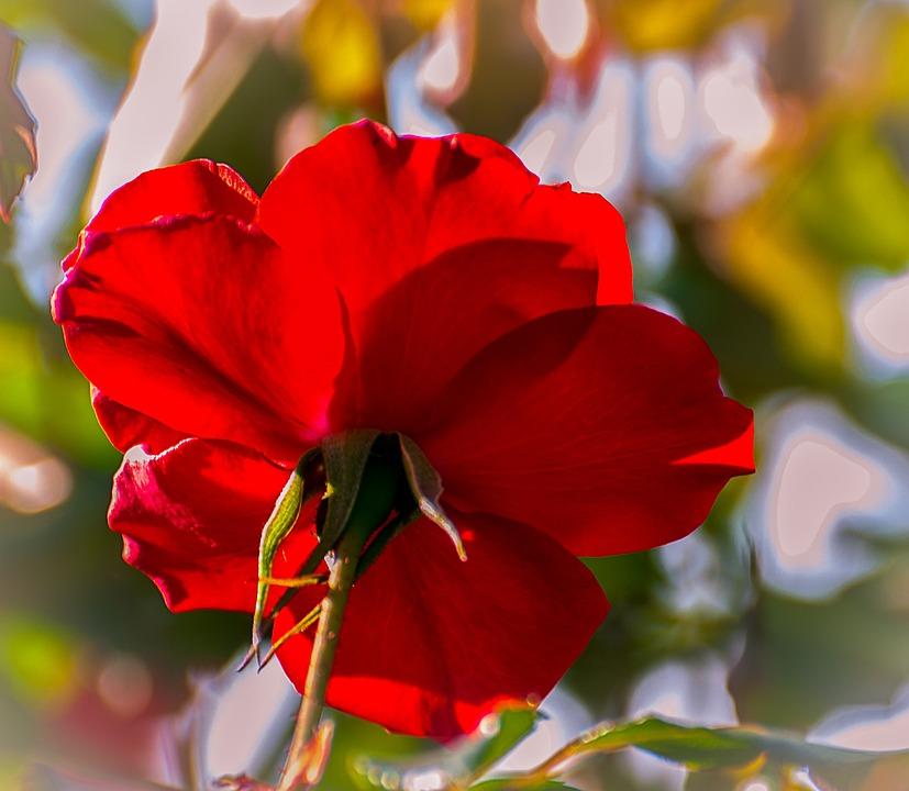 Rosa, Garden, Nature, Flower, Spring, Red Rose, Flowers