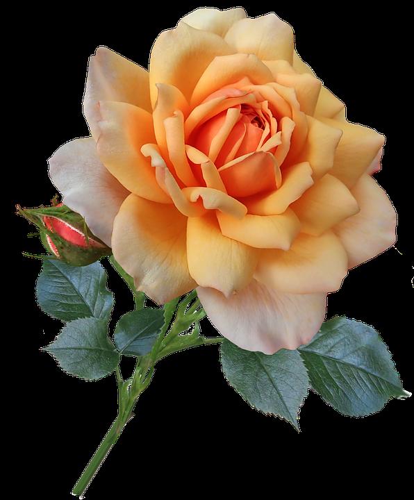 Rose, Stem, Leaves Bud, Apricot, Flower, Garden, Nature