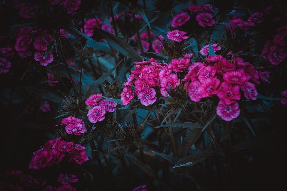 Clove, Pink, Flower, Bloom, Rose, Garden, Nature, Pond