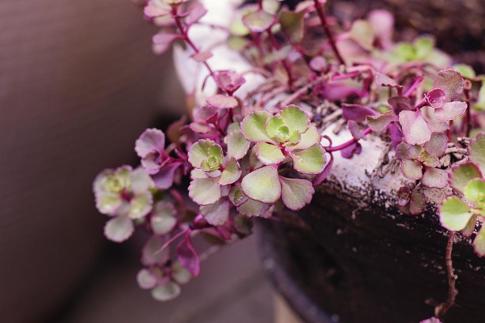 Succulent, Flower, Garden, Plant, Summer, Nature