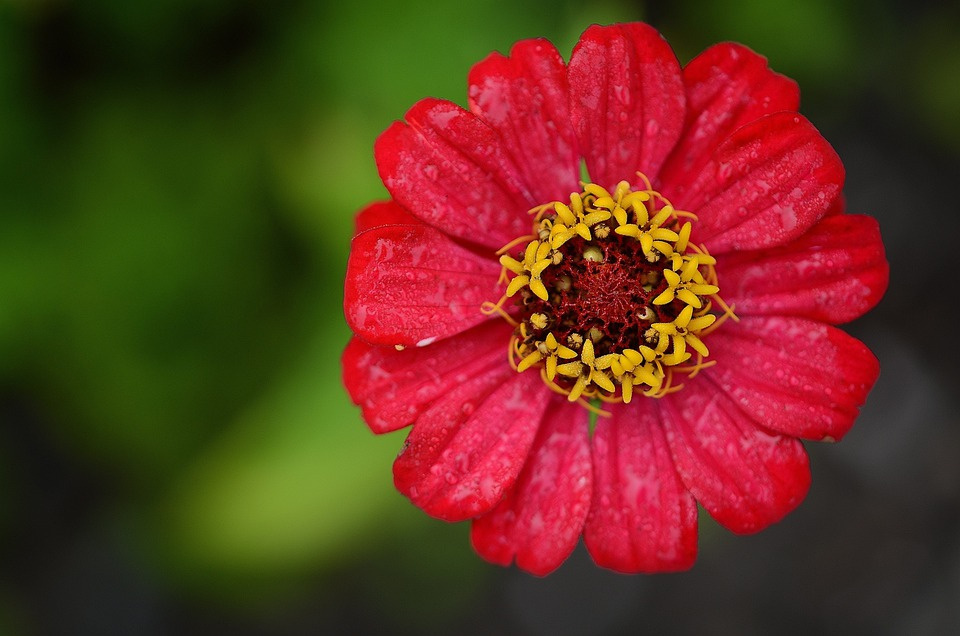 Zinnia, Red, Flower, Leaf, Nature, Garden, Macro