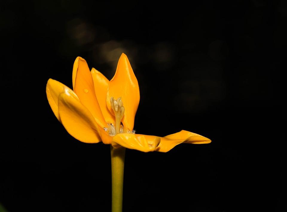 Flowers, Yellow, Nature, Pollen, Gardenia Brighamii