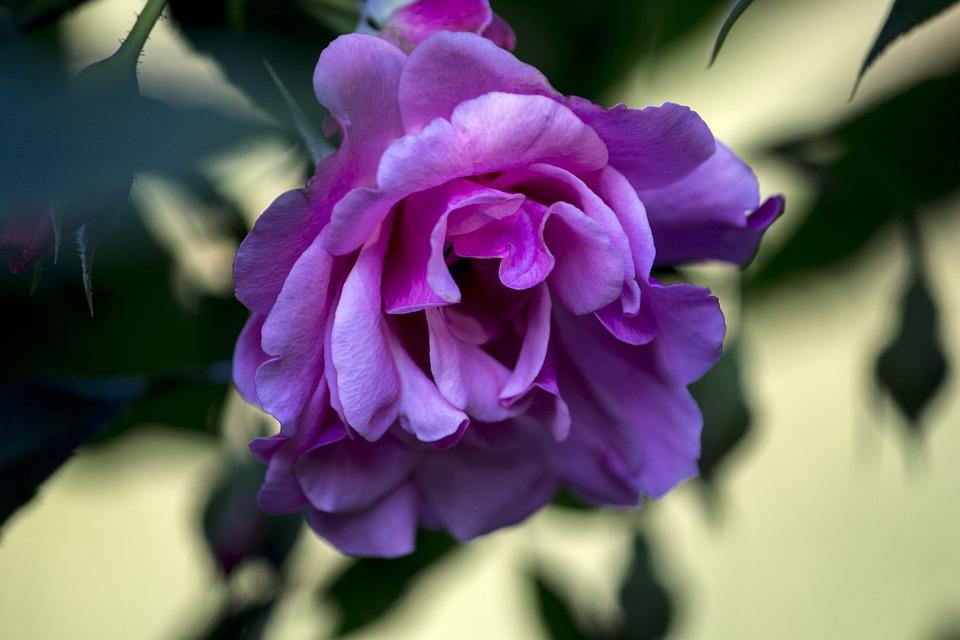 Rosa, Spring, Garden, Gardening, Nature, Plants