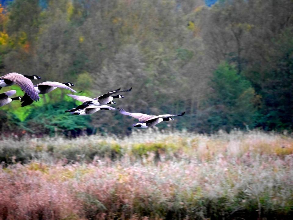 Geese, Migratory Birds, Nature