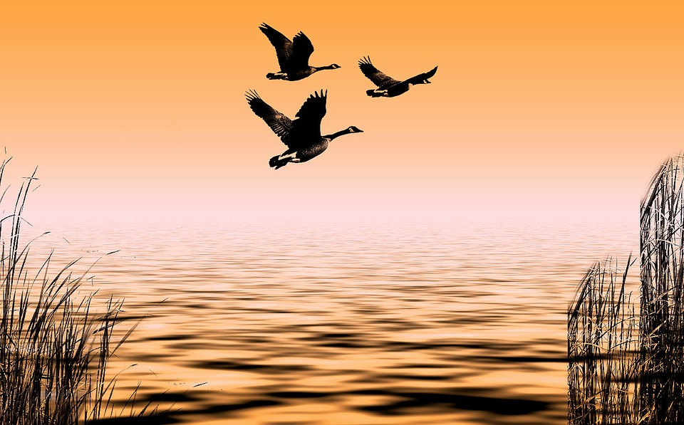 Geese, Water, Nature, Lake, Flying, Landscape, Bank