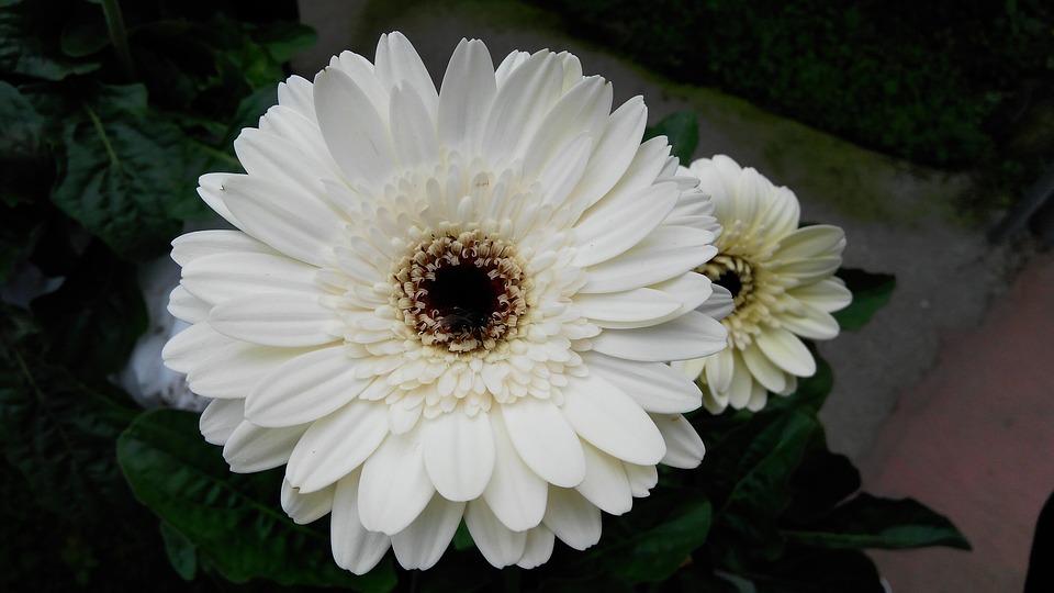 Free photo nature gerbera flower white max pixel flower gerbera white nature mightylinksfo Choice Image