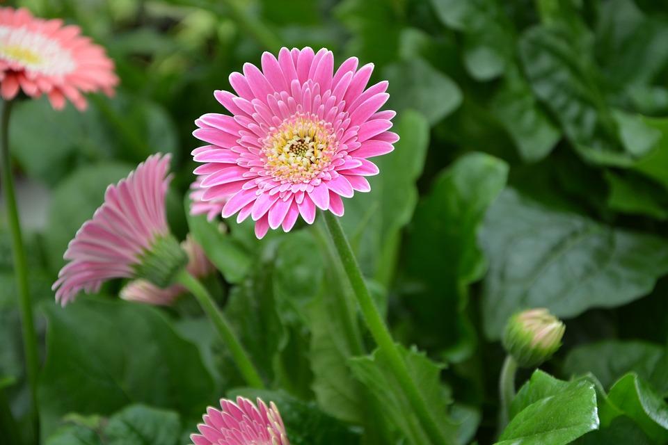 Free photo Nature Gift Bright Pink White Garden Flower Petals ...
