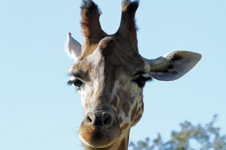 Giraffe, Animal, Nature, Mammal