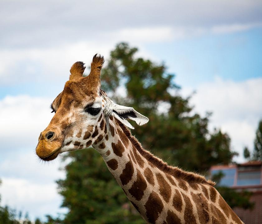 Giraffe, Mammal, Animal, Animal World, Nature, Head