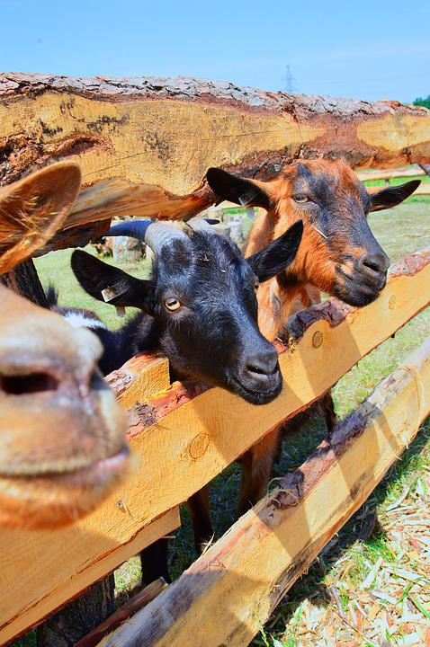Nature, Animal, Outdoors, Farm, Goat, Goats