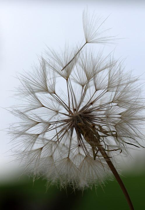Goat's-beard, Weed, Seeds, Summer, Plant, Nature