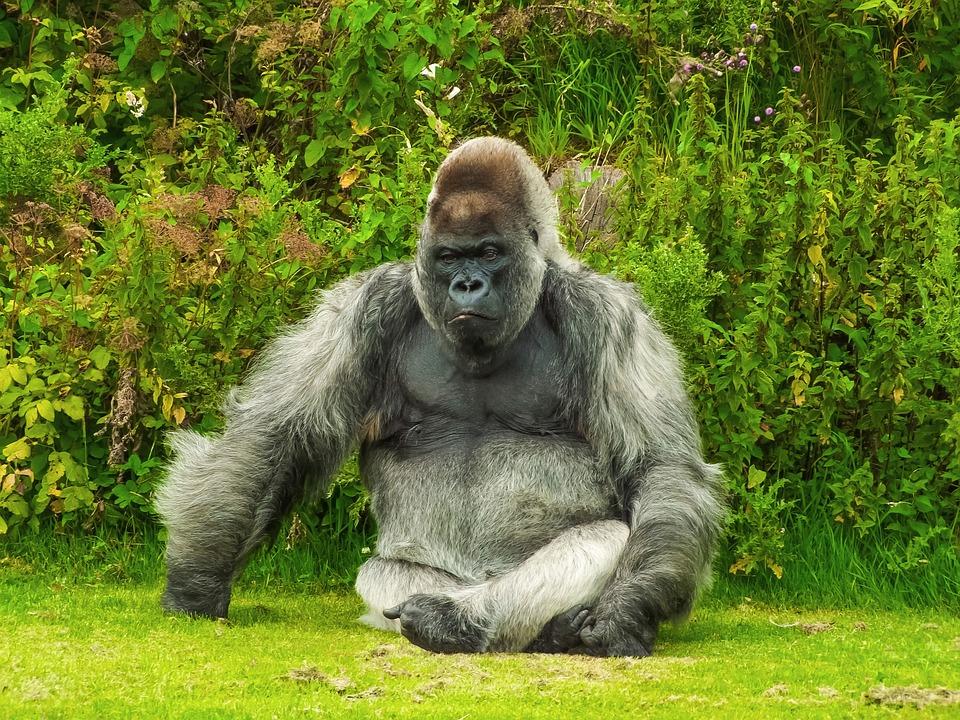Gorilla, Animal, Nature