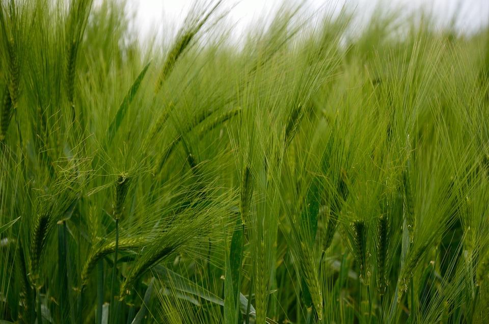 Barley, Cereals, Barley Field, Grain, Field, Nature