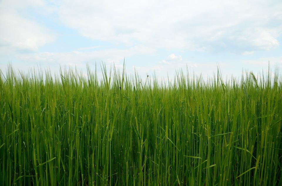 Barley, Corn, Nature, Field, Grain, Grass