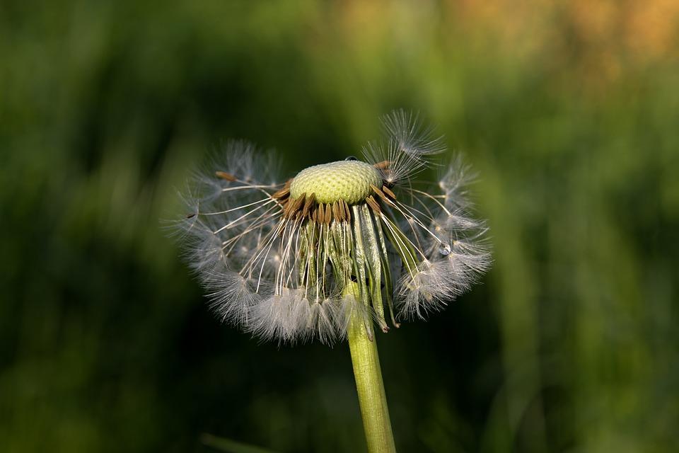 Nature, Grass, Dandelion