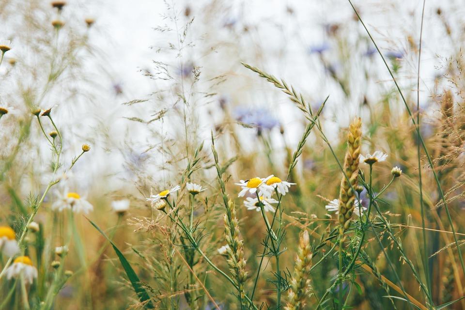Field, Nature, Meadow, Grass, Flowers