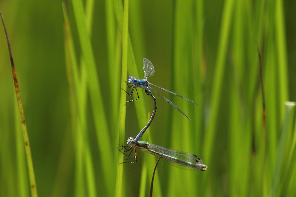 Grass, Nature, Sheet, Plant, Insect, Dragonfly, Pairing