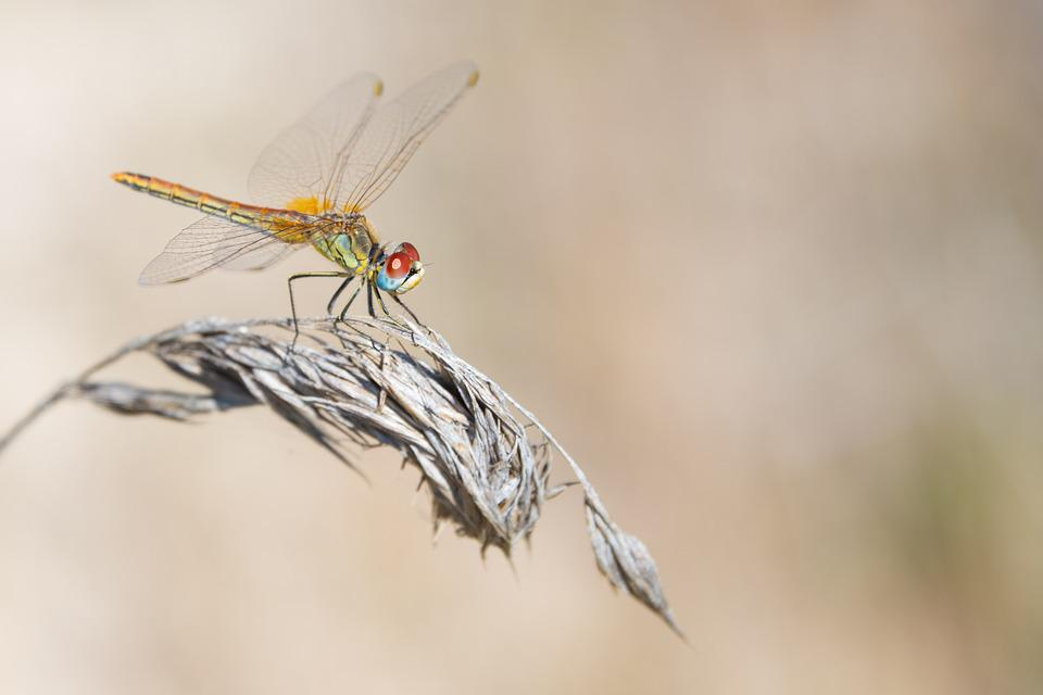 Dragonfly, Dry, Grass, Summer, Insect, Nature, Animal