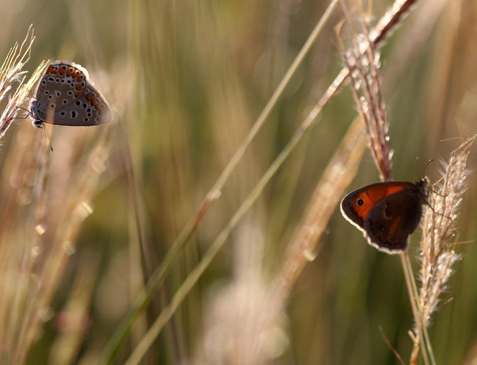 Butterflies, Mating, Grass, Nature, Insect