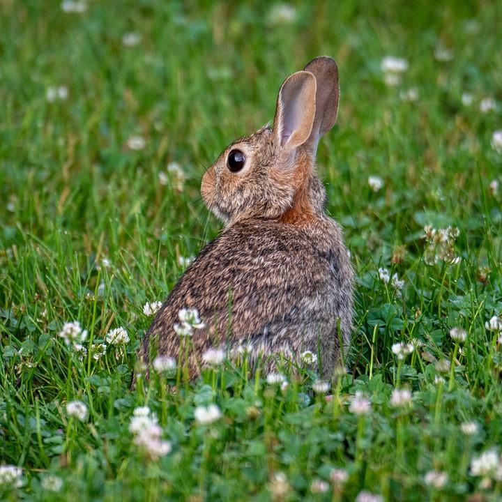 Rabbit, Brown Rabbit, Grass, Wildlife, Nature, Animal