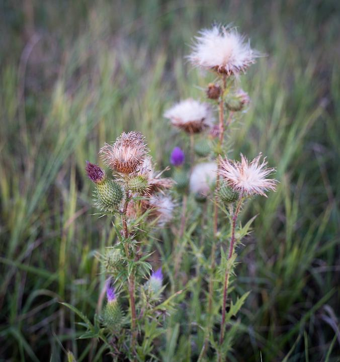 Thistle, Grasses, Flowers, Bud, Nature, Meadow, Grass