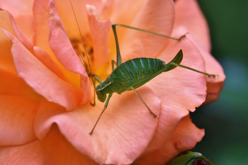 Insect, Grasshopper, Mantodea, Nature, Animal