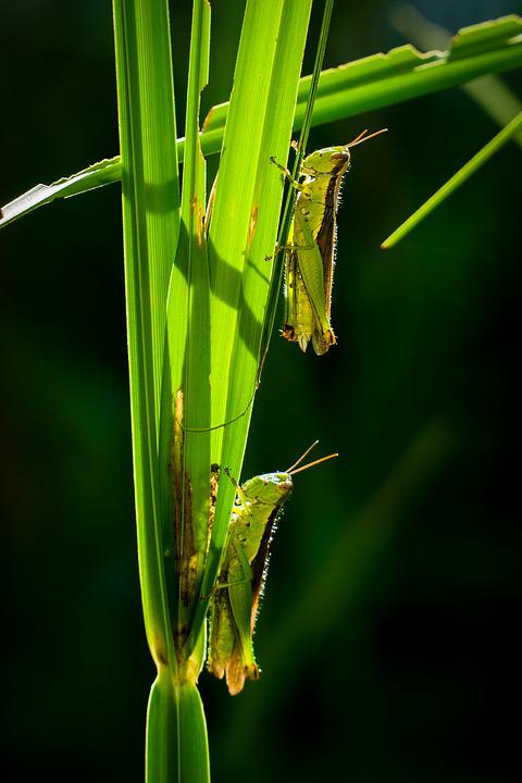 Insect, Nature, Leaf, Grasshopper, Wildlife, Closeup