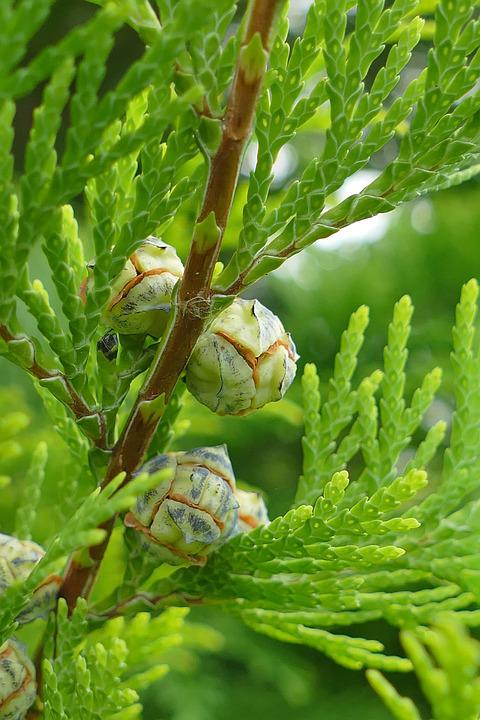 Juniper, Macro, Forest, Nature, Close, Green