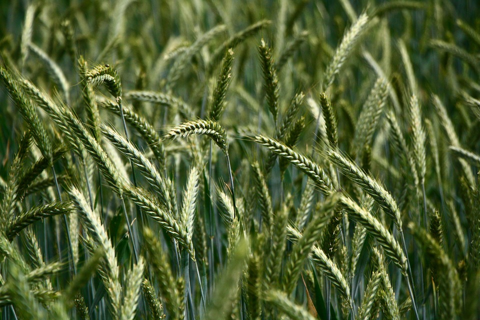 Kolos, Grass, Meadow, Field, Green, Nature, Plant
