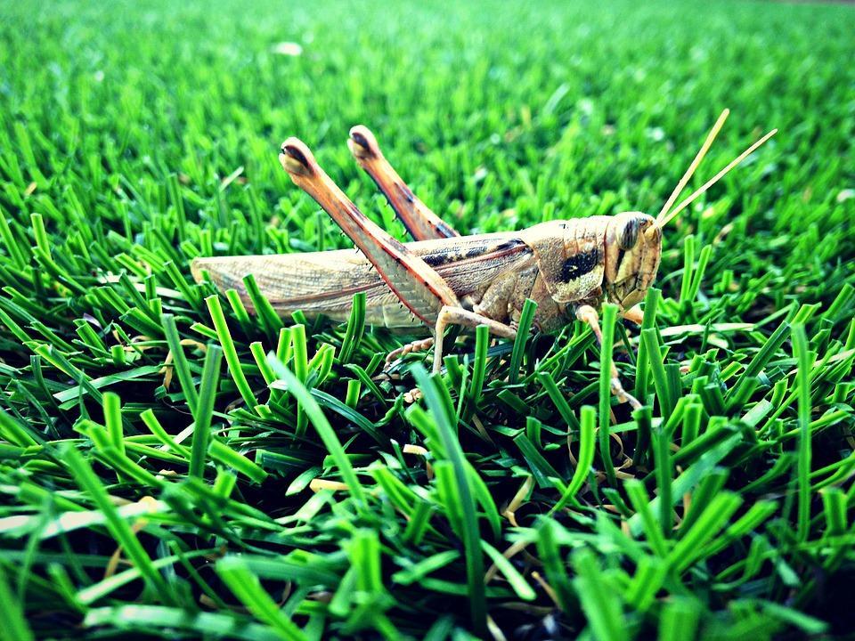 Grasshopper, Grass, Nature, Green, Insect, Summer