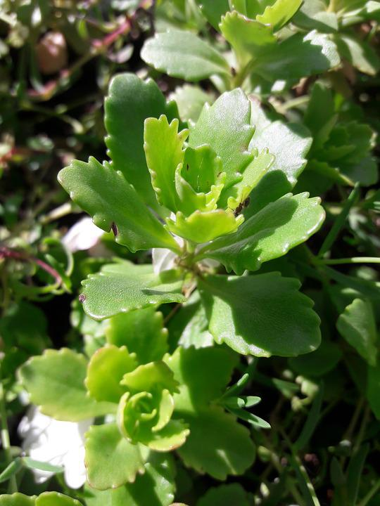 Kalanchoe, Nature, Flower, Green, Plant