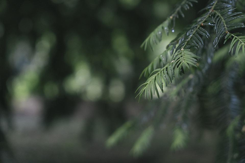 Pine, Tree, Evergreen, Green, Nature, Forest, Dew
