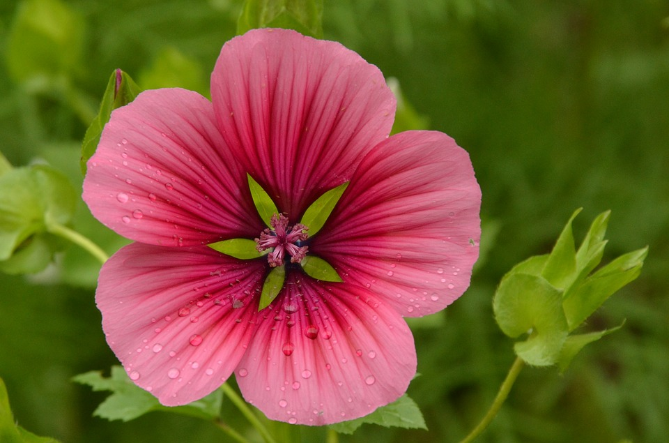 Nature, Flower, Rose, Hollyhock, Pink, Green, Heart