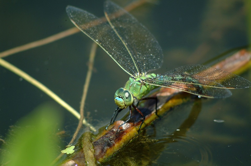 Dragonfly, Nature, Insect, Macro, Green, Pond